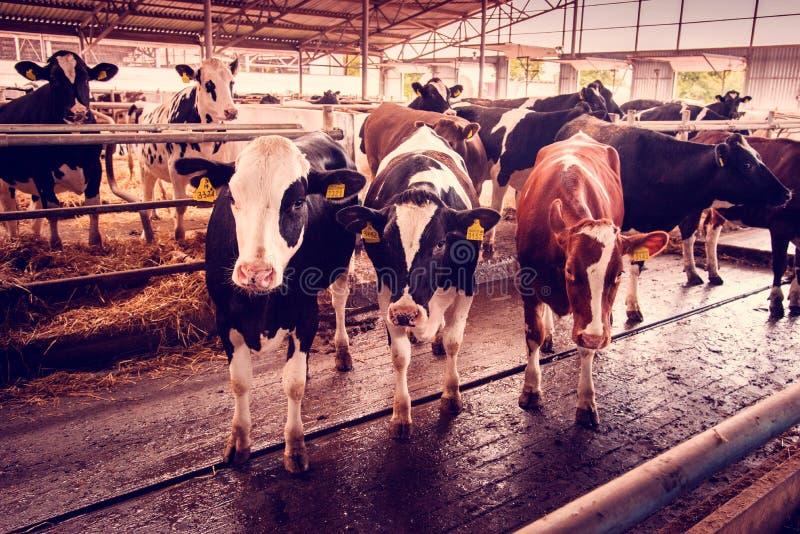 Mooi agrarisch beeld met koeien op een modern veelandbouwbedrijf royalty-vrije stock fotografie