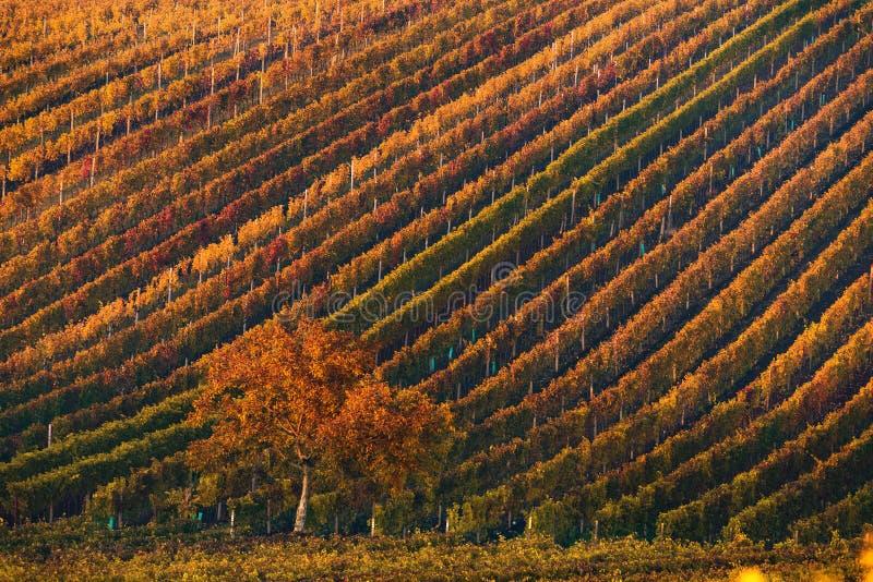 Mooi Autumn Landscape With Multi-Colored Lines van Wijngaarden/Wijnstokken en Boom met Oranje Gebladerte in Ochtendzon Rijen van royalty-vrije stock fotografie