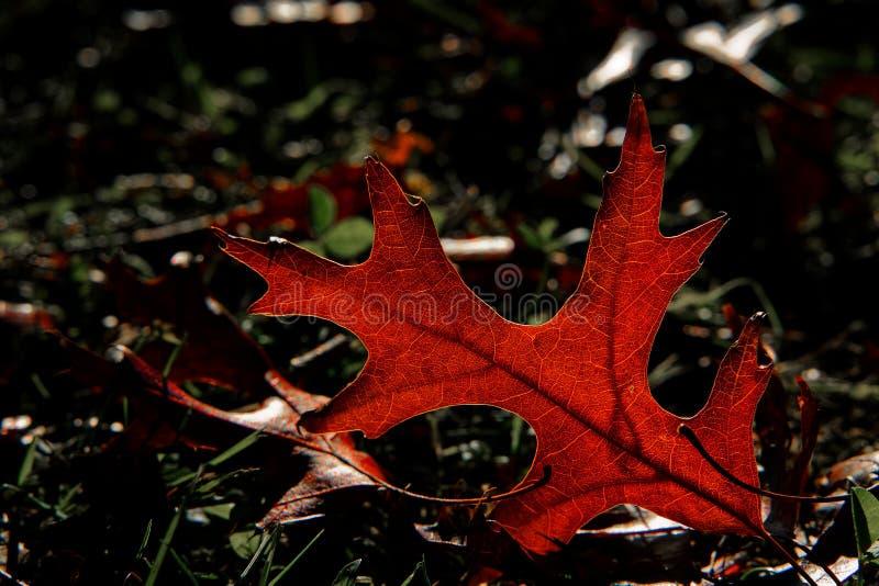 Mooi backlit gevallen blad het gloeien rood royalty-vrije stock foto's