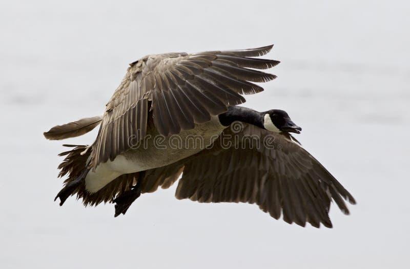 Mooi beeld met een vliegende gans van Canada stock foto's