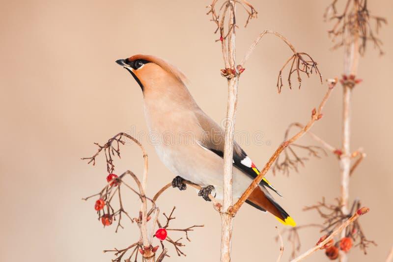 Mooi beeld van Boheemse Waxwing, Bombycilla-garrulus Een vogel zit op een tak met rode bessen stock afbeeldingen
