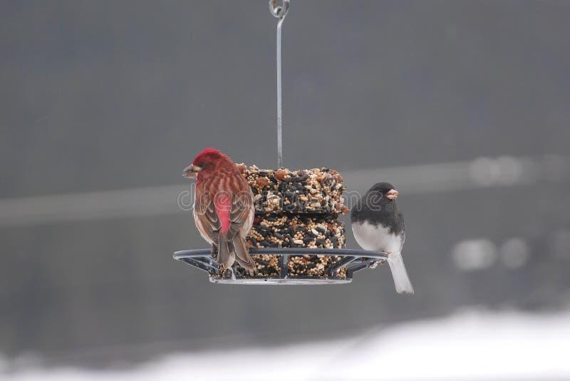 Mooi beeld van finches op de wintervoeder royalty-vrije stock foto
