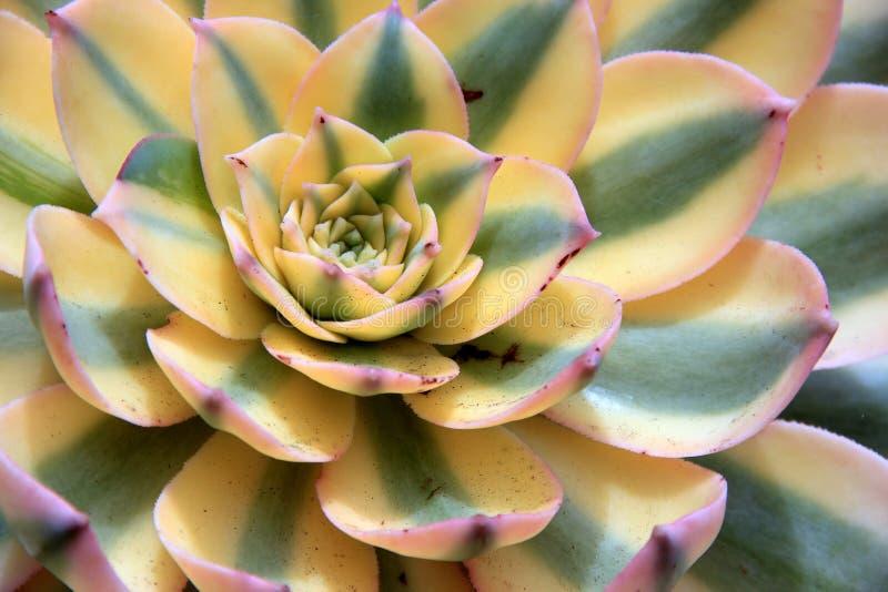 Mooi beeld van kleurrijke succulent met gele, groene en roze bladeren stock foto's