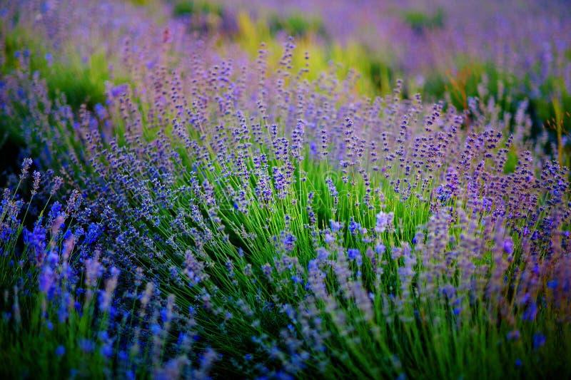 Mooi beeld van lavendelgebied over het landschap van de de zomerzonsondergang stock foto's