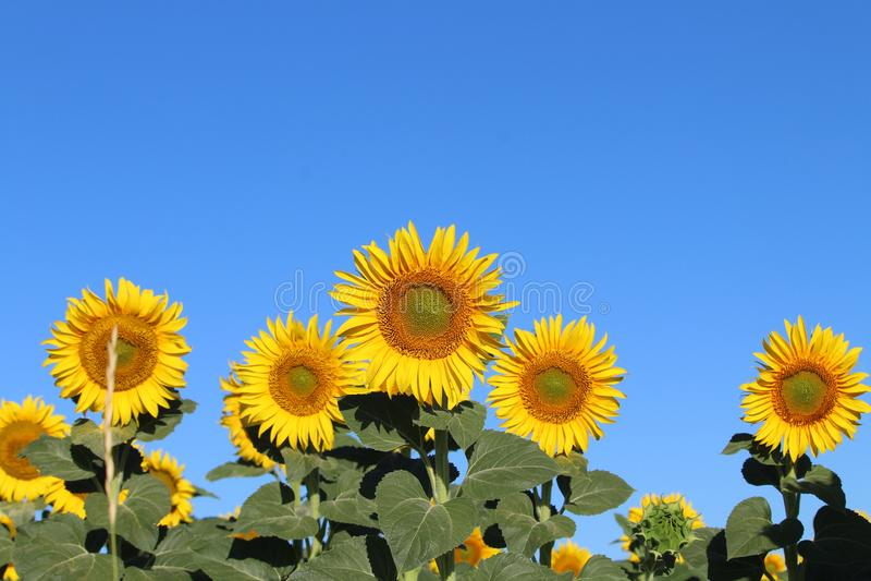 Mooi beeld van zonnebloemen en omhoog het doorweken van de zon op het gebied stock afbeelding