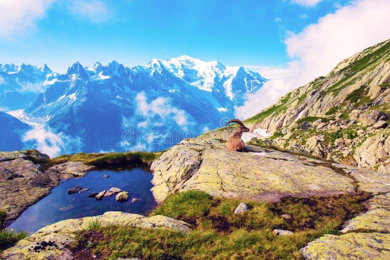 Mooi berglandschap met leuke berggeit in de Franse Alpen dichtbij het massief van Lakblanc tegen de achtergrond van Mont royalty-vrije stock foto