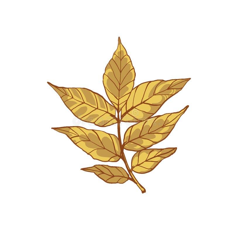 Mooi blad van asboom De herfstinstallatie met zeldzame bladeren stock illustratie