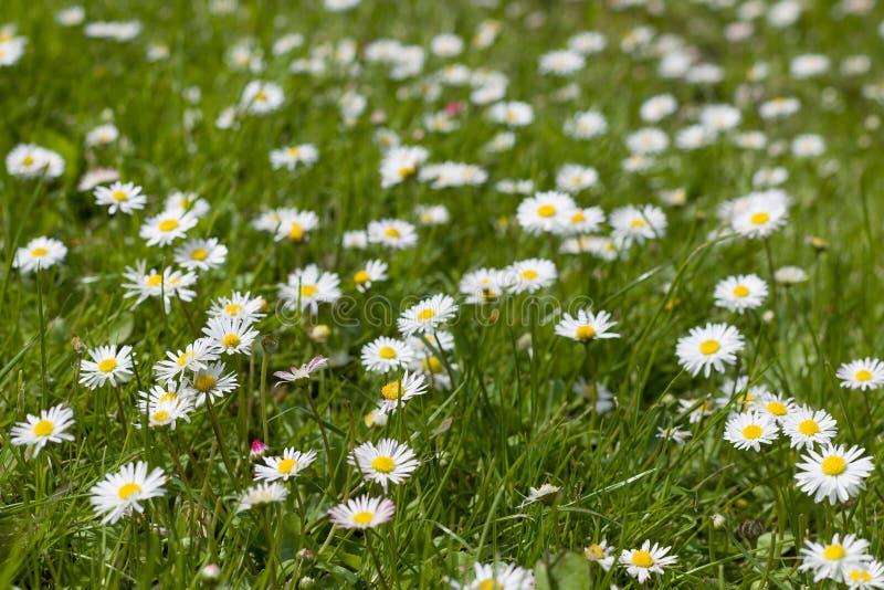 Mooi bloeiend madeliefjegebied De lentegele narcissen Daisy bloemachtergrond De weide van de de zomerkamille in de tuin royalty-vrije stock foto's
