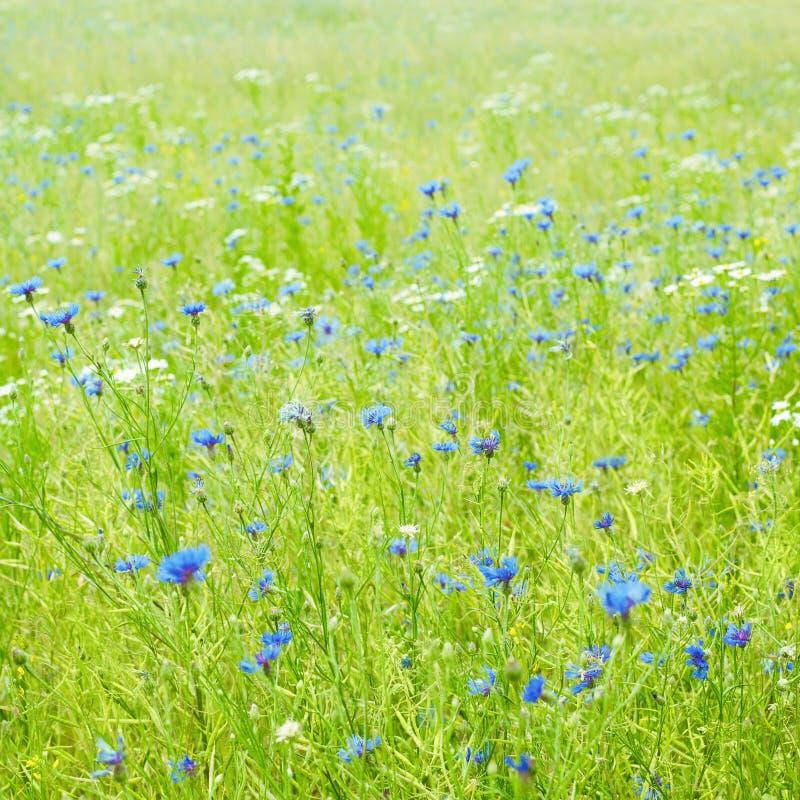 Mooi Bloemgebied met Blauwe Korenbloemen royalty-vrije stock foto