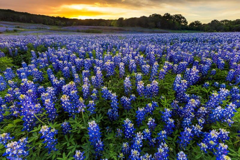 Mooi Bluebonnets-gebied bij zonsondergang dichtbij Austin, Texas in spri stock afbeeldingen