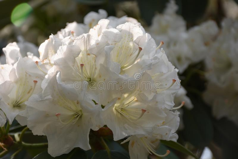 Mooi Boeket van de Bloeiende Witte Bloesems van de Rododendronbloem stock foto's