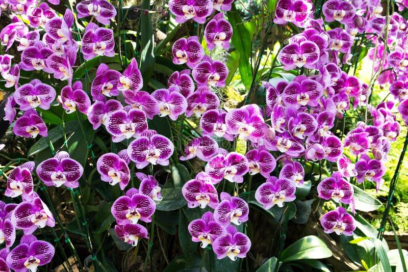 Mooi boeket van purpere orchideeënachtergrond Vanda Coerulea Flower Bos van purpere orchideeën in de tuin royalty-vrije stock afbeelding