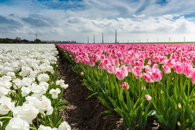 Download Mooi Boeket Van Tulpen Kleurrijke Tulpen Tulpen In De Lente S Stock Foto - Afbeelding bestaande uit blossoming, holland: 54080010