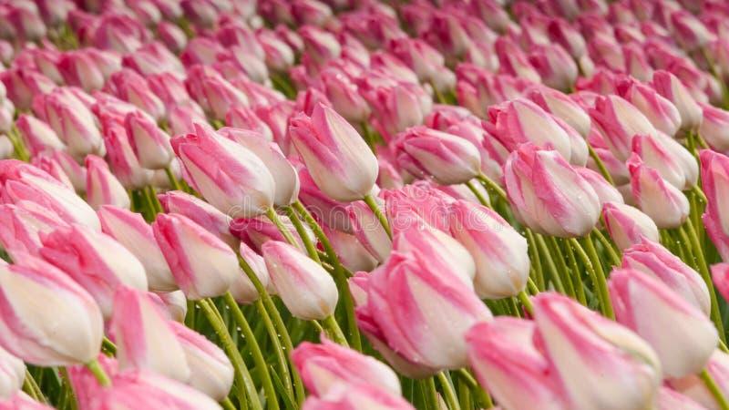 Download Mooi Boeket Van Tulpen Kleurrijke Tulpen Tulpen In De Lente S Stock Foto - Afbeelding bestaande uit naughty, festival: 54080060