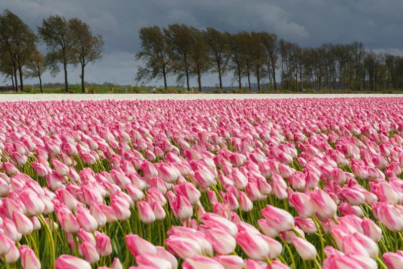 Download Mooi Boeket Van Tulpen Kleurrijke Tulpen Tulpen In De Lente S Stock Foto - Afbeelding bestaande uit schoonheid, mooi: 54080118