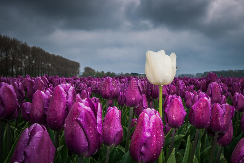 Download Mooi Boeket Van Tulpen Kleurrijke Tulpen Tulpen In De Lente S Stock Foto - Afbeelding bestaande uit nederlands, landbouw: 54090260