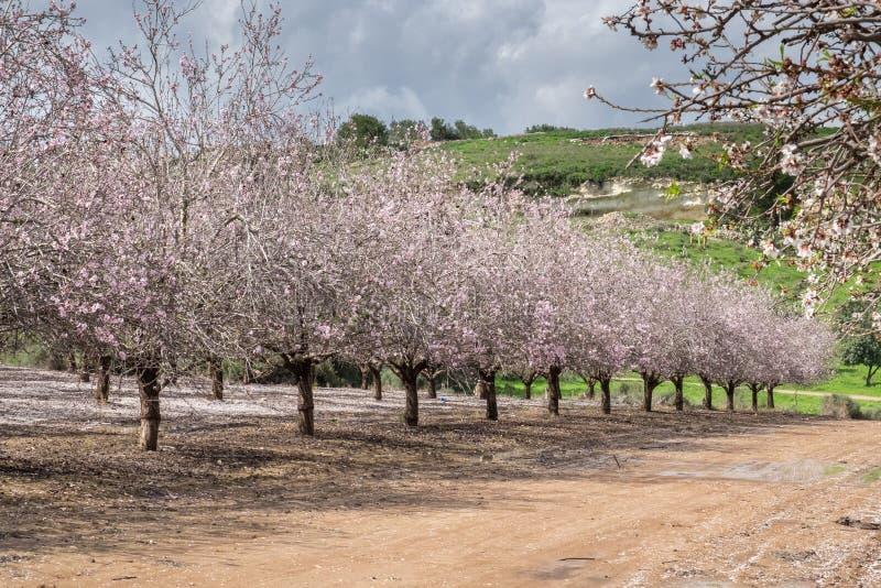 Mooi bosje van bloeiende amandelbomen bij regenachtige dag stock afbeeldingen