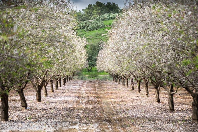 Mooi bosje van bloeiende amandelbomen bij regenachtige dag stock foto