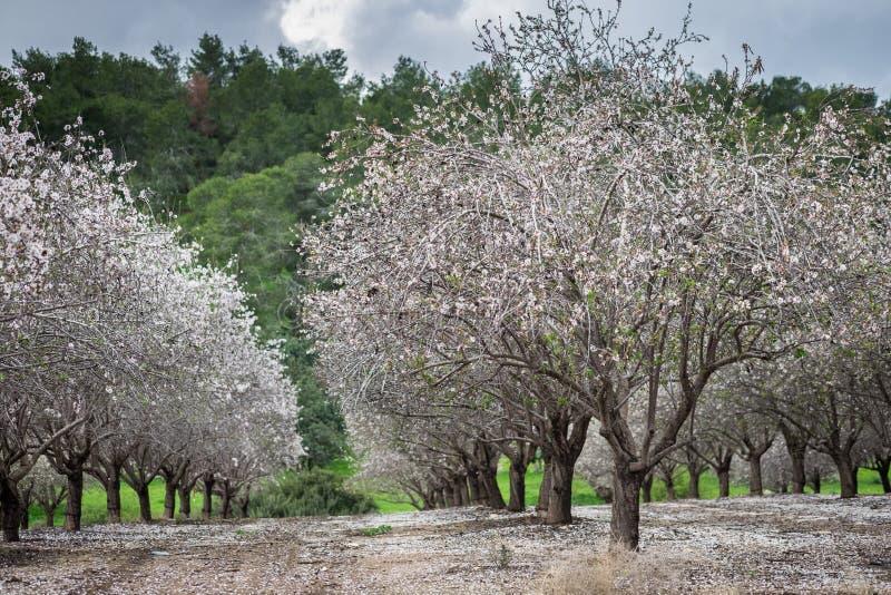 Mooi bosje van bloeiende amandelbomen bij regenachtige dag royalty-vrije stock afbeelding