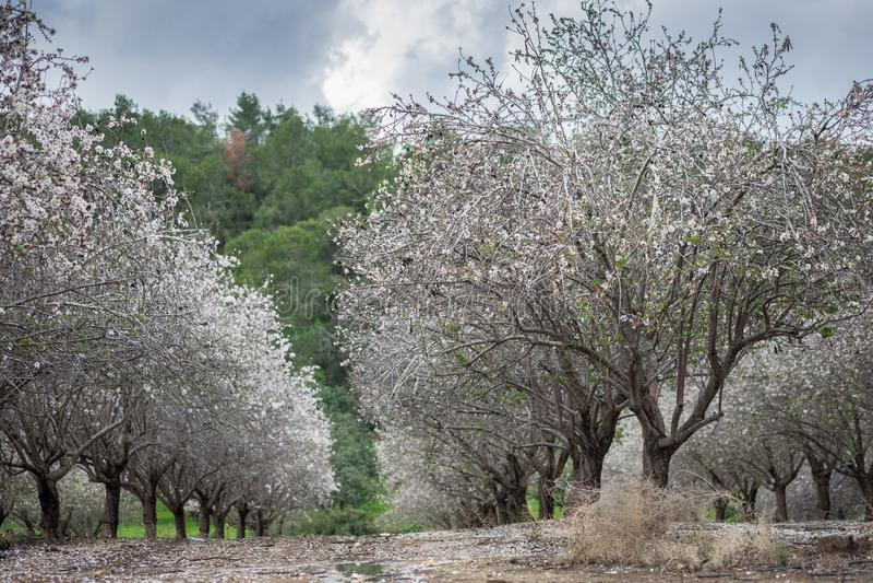 Mooi bosje van bloeiende amandelbomen bij regenachtige dag royalty-vrije stock foto