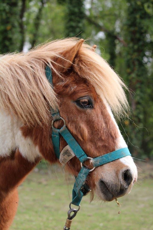 Mooi bruin en wit paard stock afbeelding