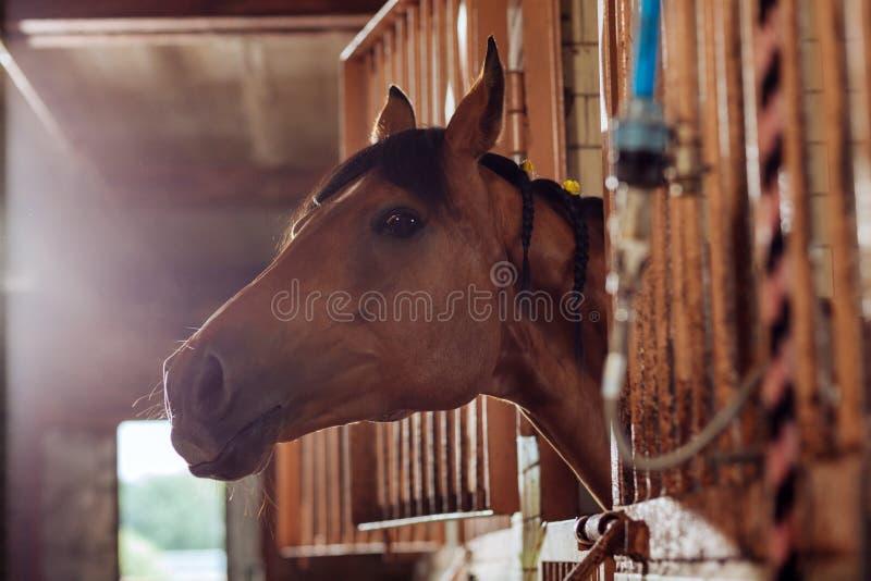 Mooi bruin het rennen paard die zich in grote ruime stal bevinden royalty-vrije stock afbeeldingen