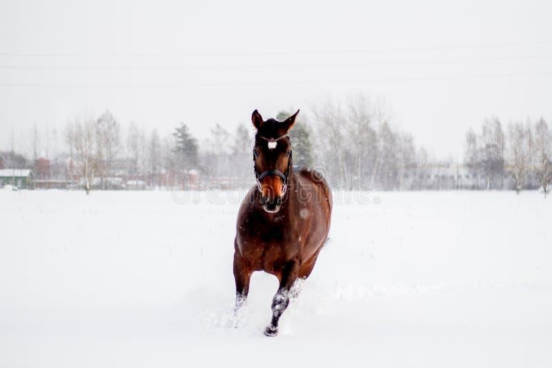 Mooi bruin paard die in de sneeuw lopen stock afbeeldingen