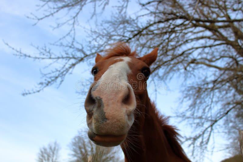 Mooi bruin paard op het landbouwbedrijf stock afbeelding