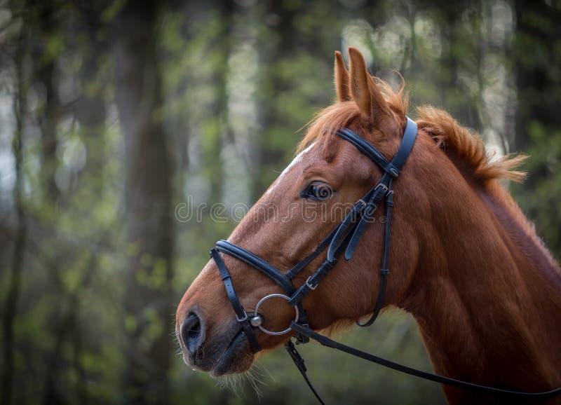 Mooi bruin paardportret met teugel in het de lentebos stock foto