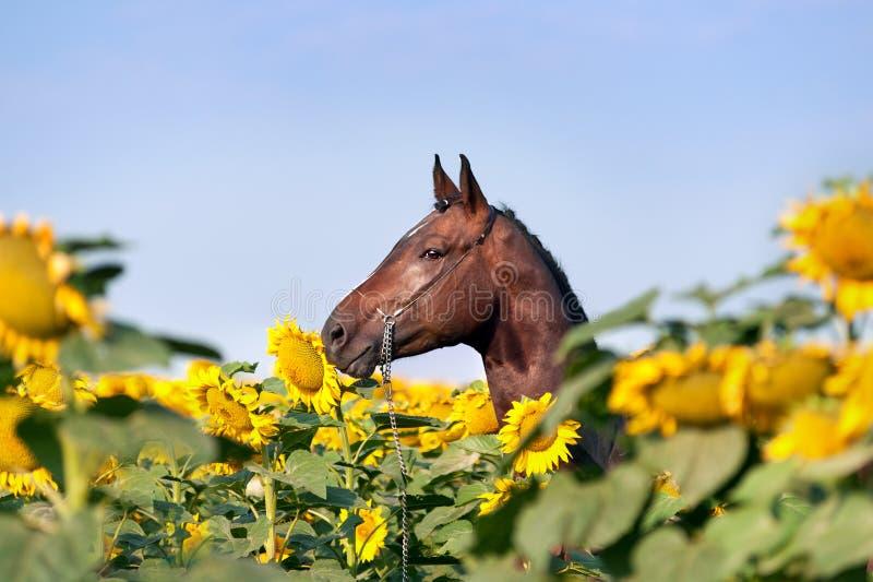 Mooi bruin sportenpaard met gevlechte manen in halter die zich op het gebied met grote gele bloemen die bevinden zijn schild royalty-vrije stock foto