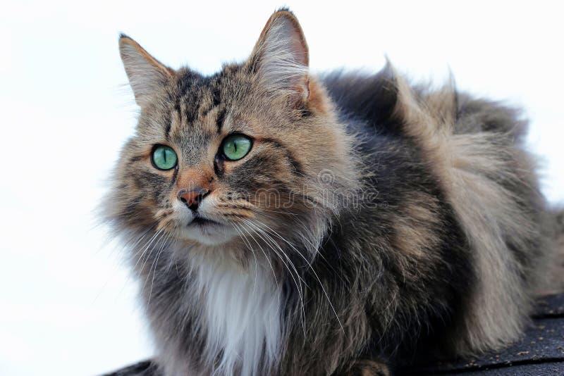 Mooi bruin-zwart Noors Forest Cat met groen-turkooise ogen stock foto's