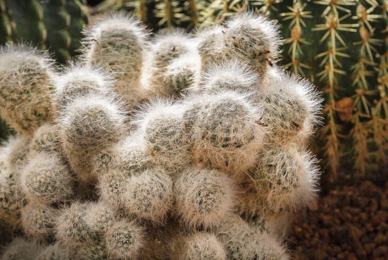 Mooi cactusboeket met witte doornen stock foto's