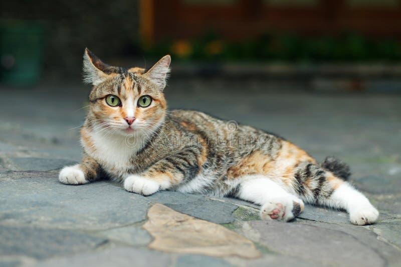 Mooi Calico Cat Lie Down royalty-vrije stock fotografie