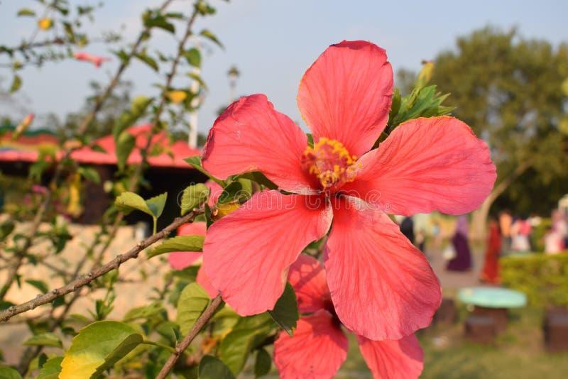 Mooi China nam bloem het bloeien kijkend zeer charmerend en schitterend toe royalty-vrije stock fotografie