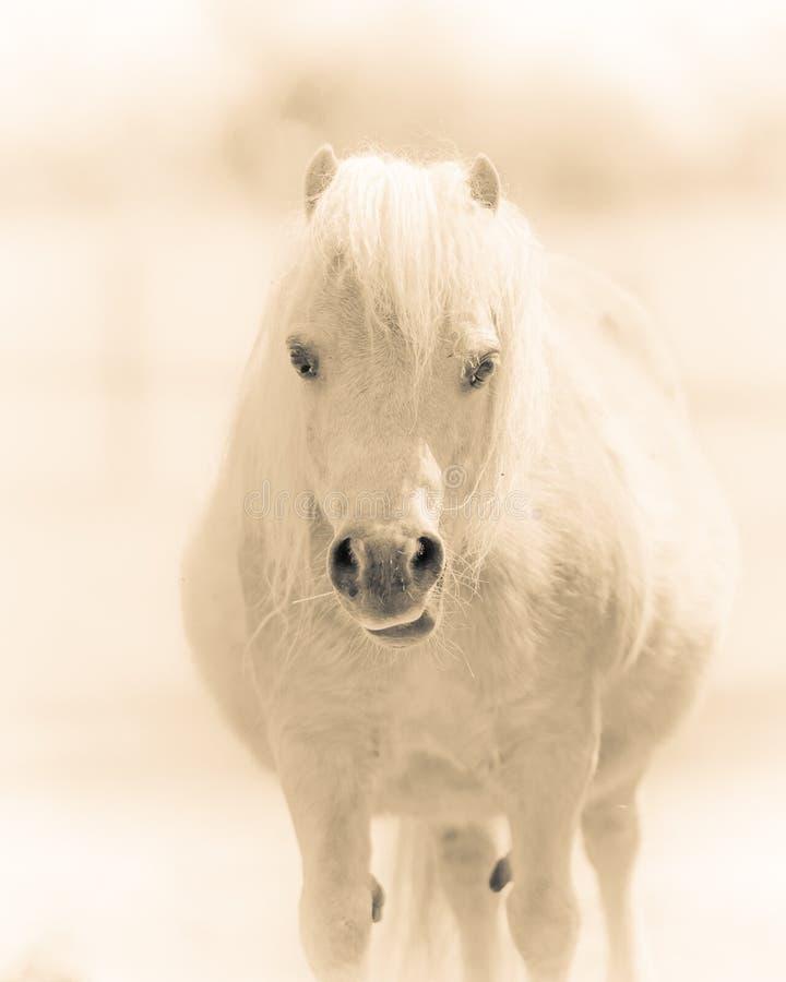 Mooi Chubby Pony stock afbeeldingen