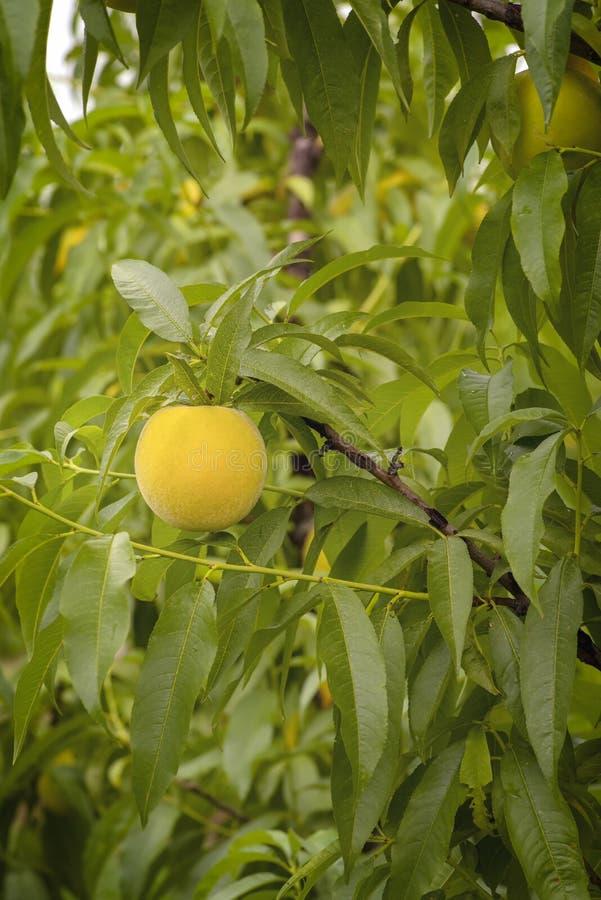 Mooi close-up met rijp perzikfruit in de moestuin stock afbeelding