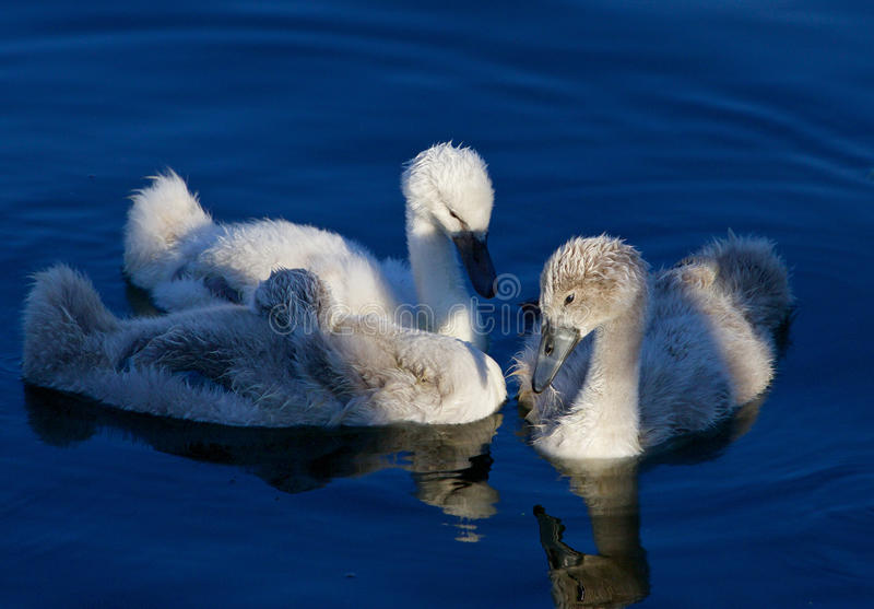 Mooi close-up van de drie jonge zwanen vóór de zonsondergang stock fotografie