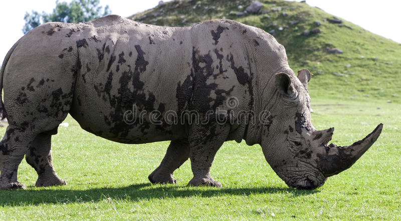 Mooi close-up van de witte rinoceros royalty-vrije stock foto's