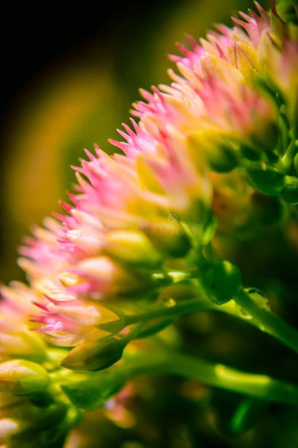 Mooi Close-up van een Achillea-millefolium op een donkere achtergrond royalty-vrije stock fotografie