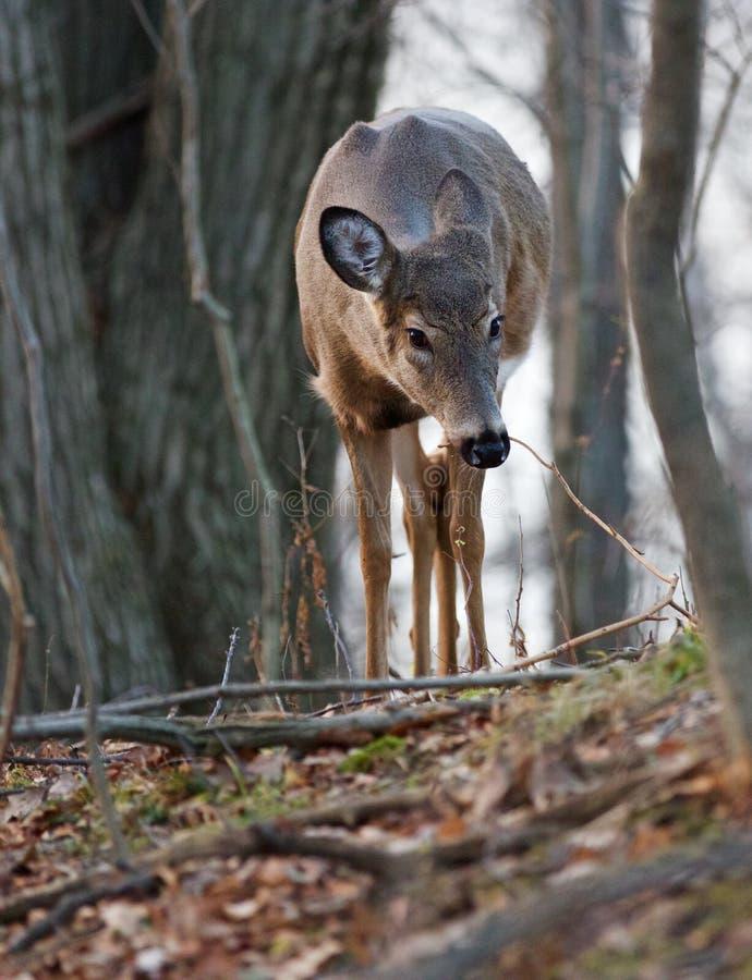Mooi close-up van een jong hert in het bos stock foto's