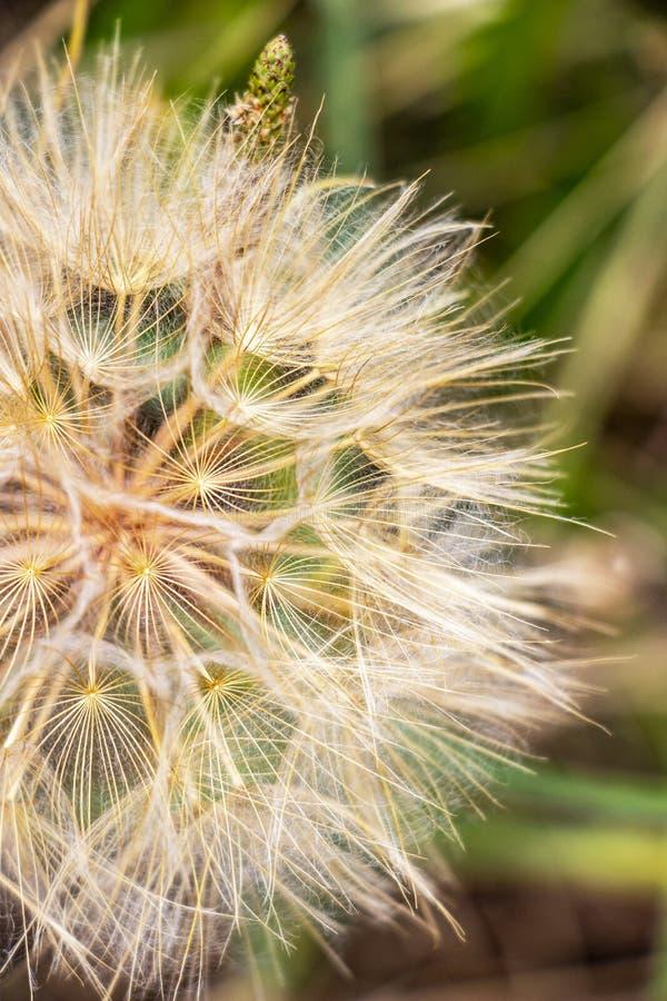 Mooi close-up van een Tragopogon-zaadhoofd tegen onscherpe weideachtergrond stock fotografie