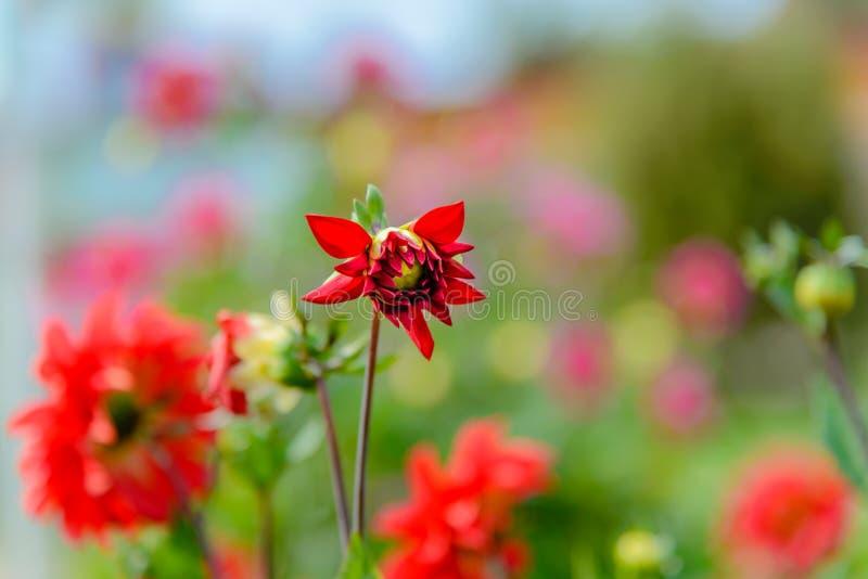 Mooi dahliaclose-up dat op een zonnige dag bloeit royalty-vrije stock foto's