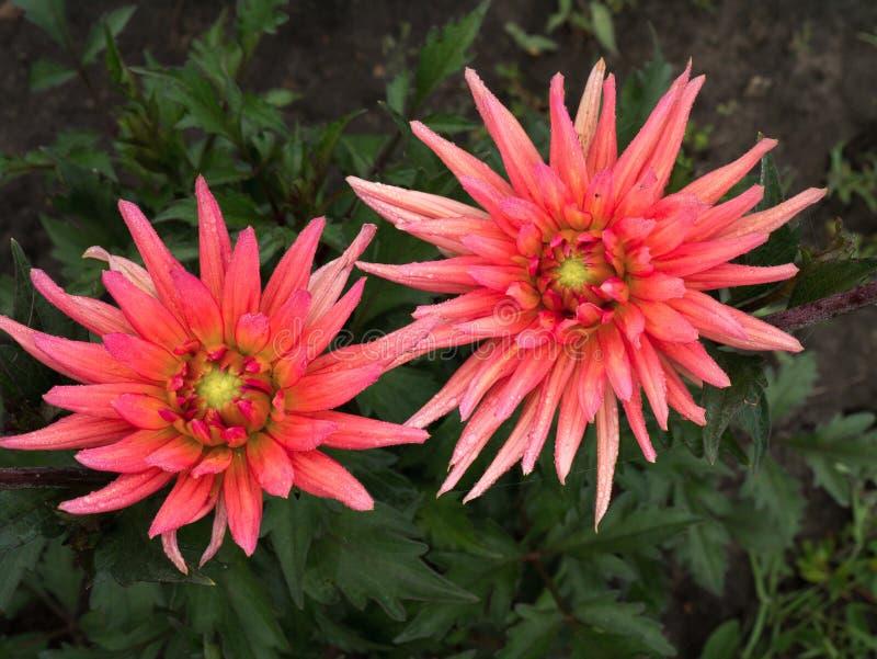 Mooi de aardclose-up van Dahlia Flower Hoogste mening van roze dahila royalty-vrije stock fotografie