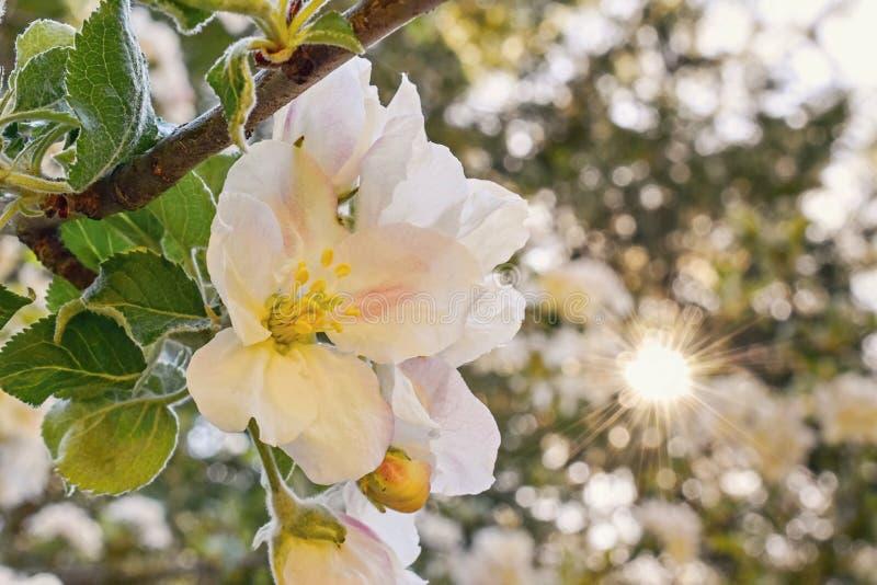 Mooi de bloemen en de lentezonlicht van de appelboom stock foto