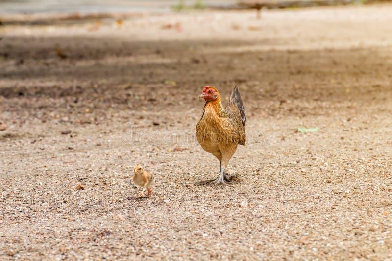 Mooi de Haan en de kip op aardachtergrond royalty-vrije stock fotografie
