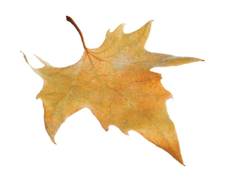 Mooi de herfstblad op witte achtergrond royalty-vrije stock afbeeldingen