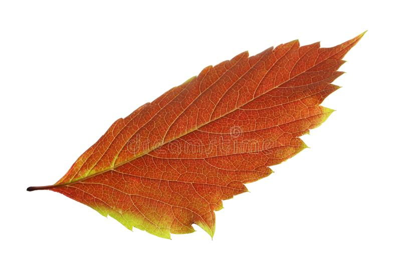 Mooi de herfstblad op witte achtergrond royalty-vrije stock foto's