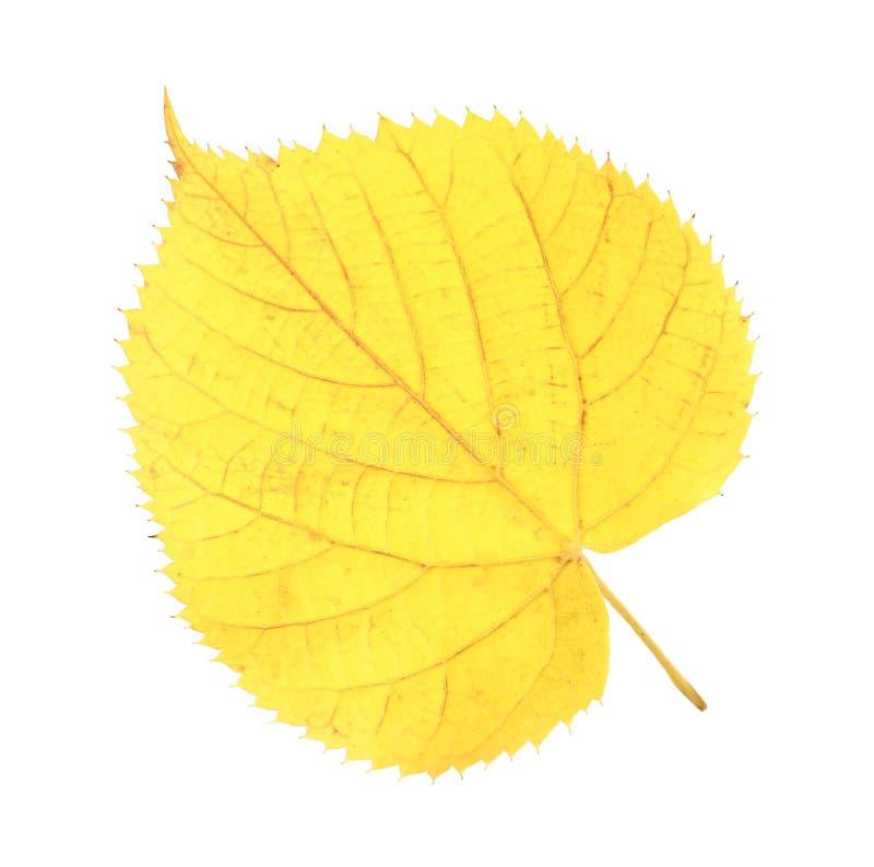 Mooi de herfstblad op witte achtergrond royalty-vrije stock afbeelding