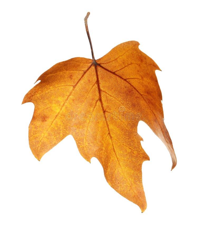 Mooi de herfstblad op witte achtergrond royalty-vrije stock foto