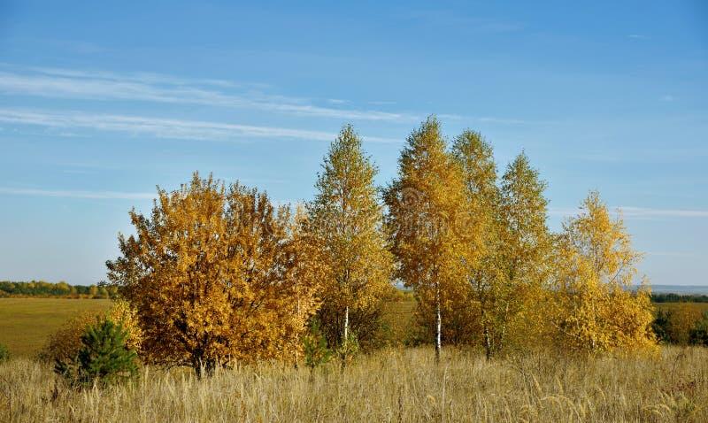 Mooi de herfstlandschap met berken op het gebied stock foto's